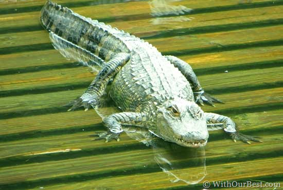 aligator-at-gatorland-flori