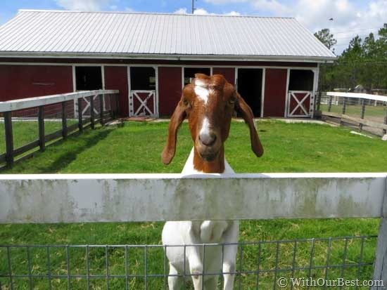 cute-goat-starring-at-me