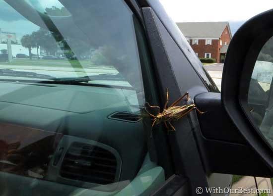 huge-grasshopper-in-florida