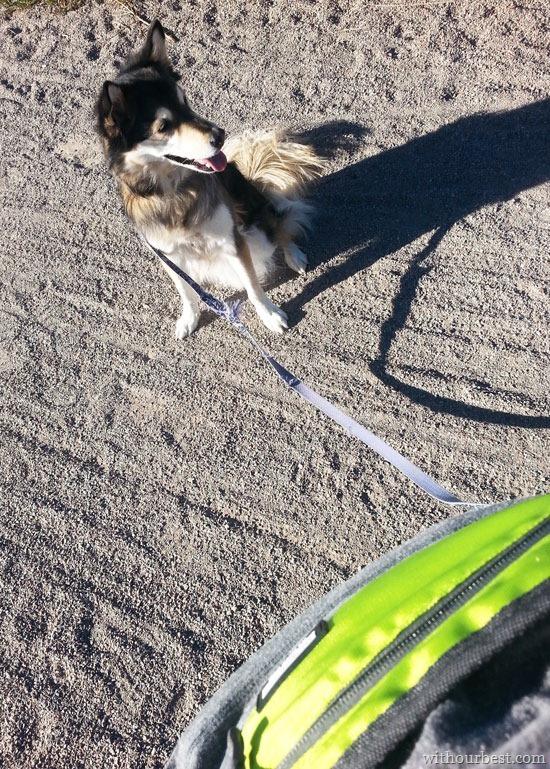 dog-running-belt