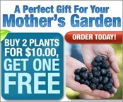 Blueberry-plants-cheap