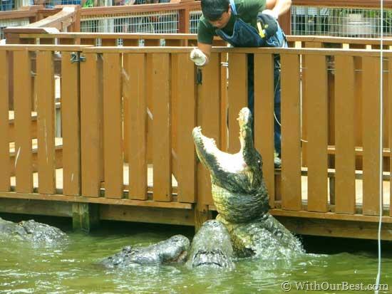 gator-show-at-gatorland