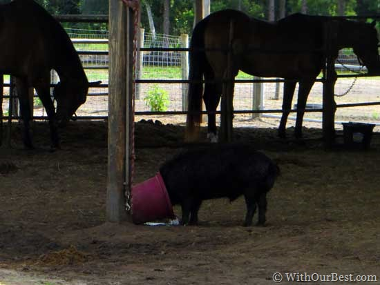 pig-with-bucket